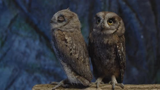 Two Cute Baby Owls with Brown Feathers Are Sitting on a Branch in the Studio,