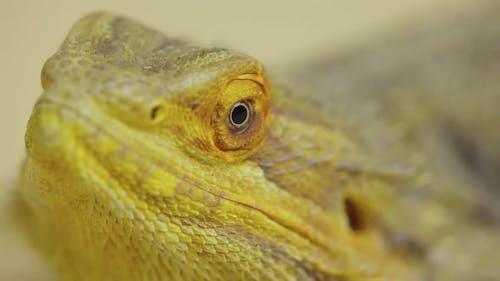 Lizards Bearded Agama or Pogona Vitticeps Isolated at Beige Background in Studio