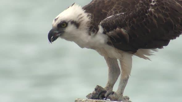 Osprey Immature Lone Eating Feeding Beak Talons in Belize