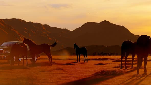 Thumbnail for Wild Horses Grazing in the Sunset and Pickup Passing Through Them