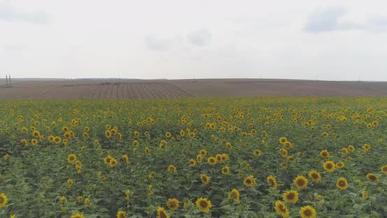 Thumbnail for Agricultural field with sunflowers