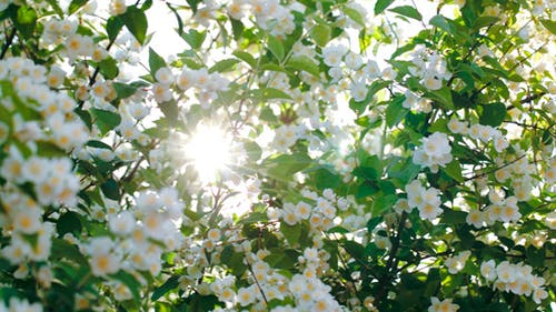 Sun Shining Through The Blooming Apple Tree
