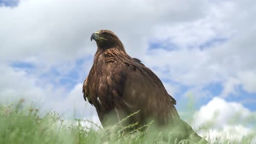 A Free Wild Golden Eagle Bird in Natural Habitat of Green Meadow