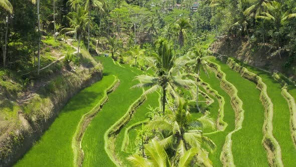 Thumbnail for Aerial drone view flying low through beautiful rice terraces