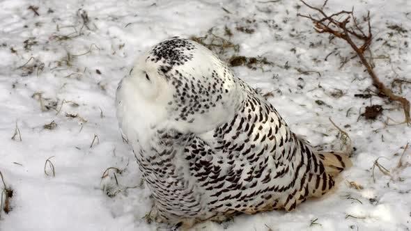 Arctic Owl.