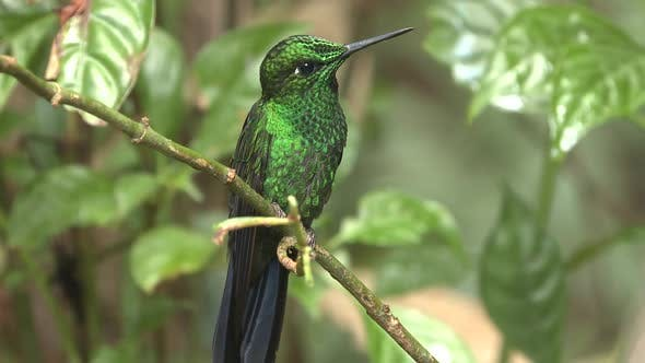 Thumbnail for Green-crowned Brilliant Hummingbird Male Adult in Costa Rica