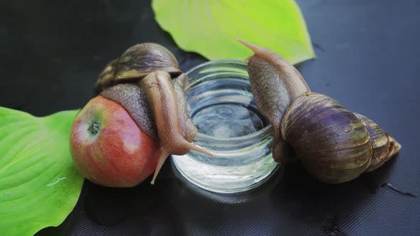 Cover Image for Two Giant African Land Snails Crawling