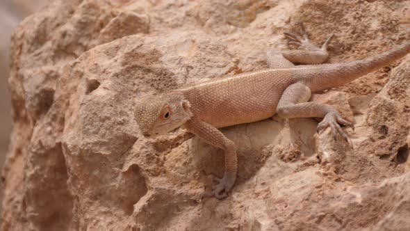 Thumbnail for Desert Agama on a rock