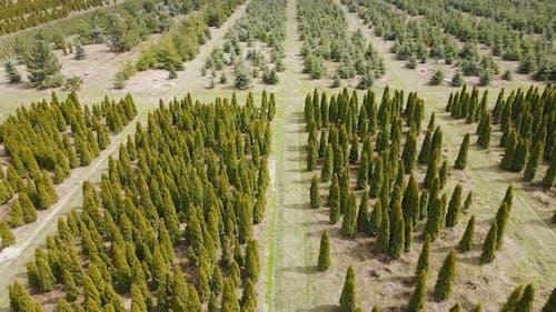 Aerial View Thuja Seedlings Grown on an Industrial Scale