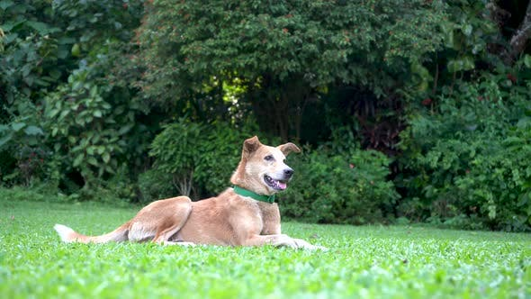 Thumbnail for Happy Domestic Dog is Lying on the Green Grass in the Park