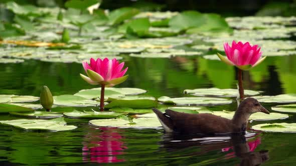 Thumbnail for Lotus Flowers And Leaves On Water And Duck 1