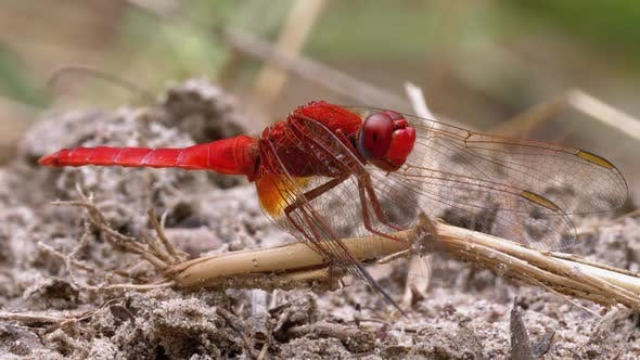 Thumbnail for Red Dragonfly Close-up. Dragonfly Sitting on the Sand at a Branch of the River