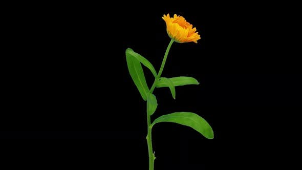 Thumbnail for Time-lapse of opening calendula flower