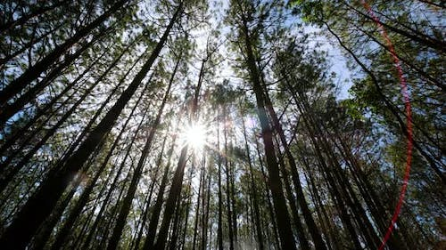 View up, bottom view of pine trees inthe forestin the sunshin