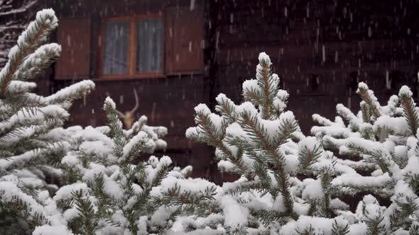 Thumbnail for Heavy Snowfall in the Countryside. Snow Falls on Spruce Branches, in the Background of a Beautiful