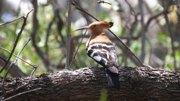Thumbnail for Hop bird in a tree at Parque Nacional do Iona