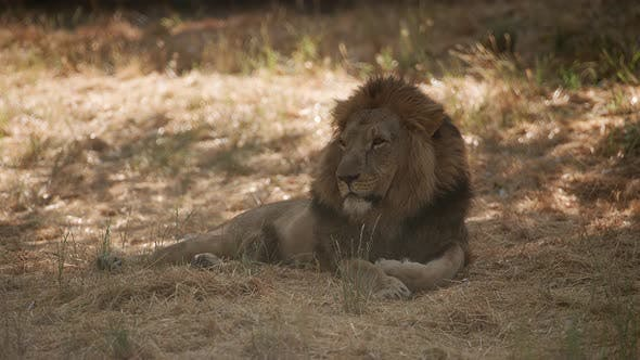 Thumbnail for Male African lion resting in shade at wildlife park