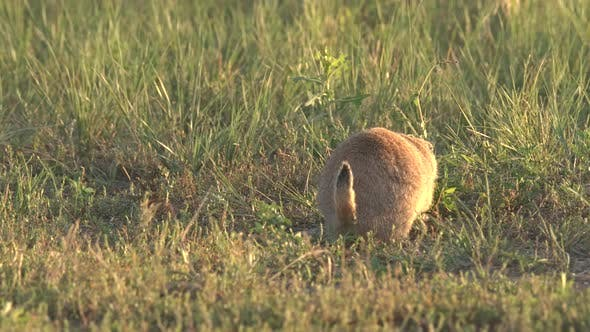 Thumbnail for Black-tailed Prairie Dog Adult Lone Walking Moving Foraging Looking For Food in Summer Tail Backside