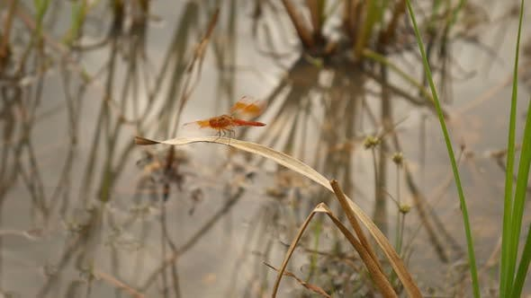 Thumbnail for Dragonfly in Swamp