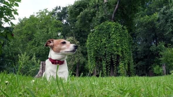 Jack Russel Terrier on Green Field