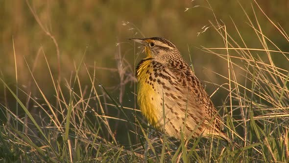 Thumbnail for Western Meadowlark Male Adult Lone Calling Singing Song in Summer Dawn Morning