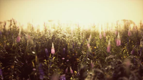 Wild Field Flowers at Summer Sunset