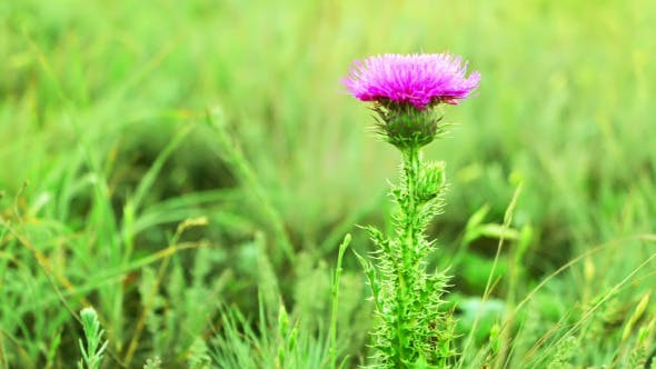 Thumbnail for Prairie Grass and Thistle