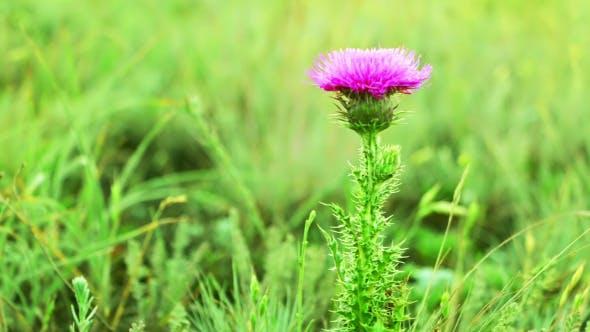 Prairie Grass and Thistle