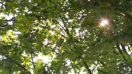 Thumbnail for Tree and the Sunlight