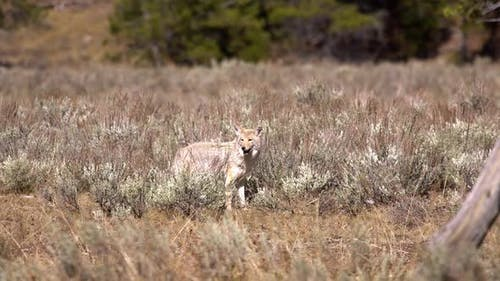 Coyote looking through the brush and grass while it is hunting