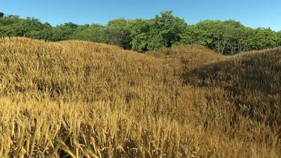 Mature Golden Wheat Field