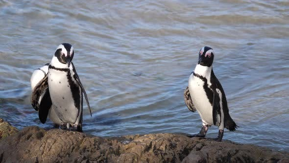 Thumbnail for Penguin waddle preening their feathers on a rock