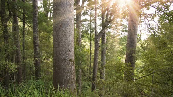 Thumbnail for Sun Shinning in Green Primeval Forest with Kaori Tree in Sunny Summer Nature Park