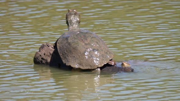 Thumbnail for Big African helmeted turtle on a tree trunk in a lake
