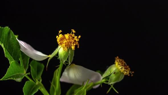 Thumbnail for Rosehip Blossom Timelapse on Black