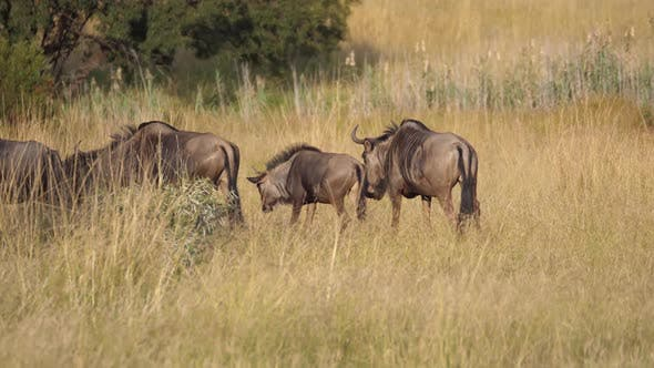Cover Image for Herd of wildebeest walking in to the shadow