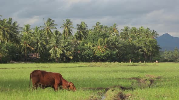 Thumbnail for Animals of Sri Lanka. Cows in the Pasture. Cow