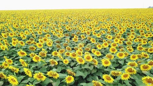 Amazing view of sunflowers swaying on the wind in a field in summer.
