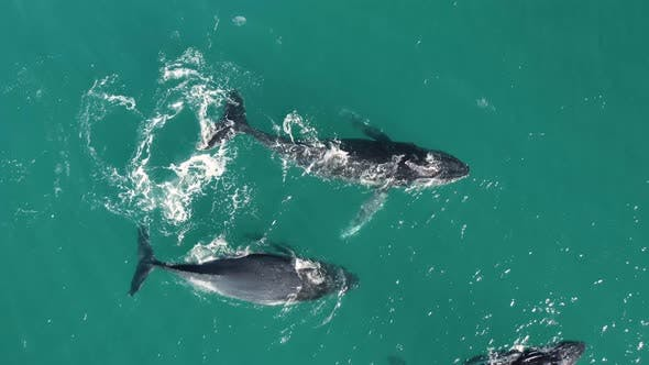 Aerial view of humpback whales