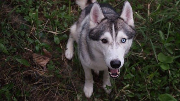Thumbnail for Siberian Husky Dog