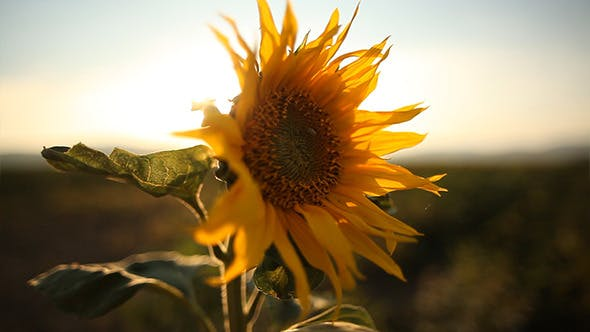 Thumbnail for Sunflower in the Sunset 2