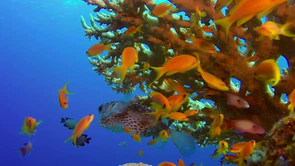 Thumbnail for Underwater Colorful Tropical Fish and Porcupine Fish