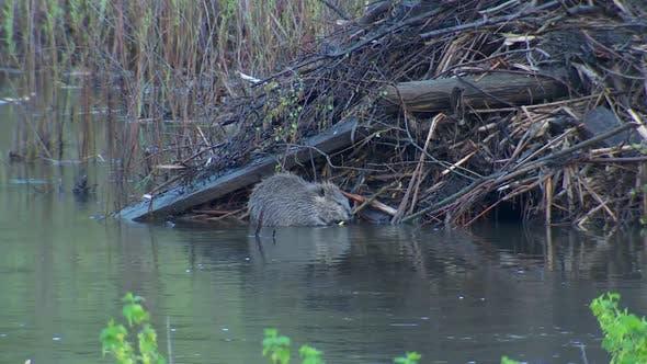 Thumbnail for Beaver Adult Lone Eating Feeding in Spring River Stream Creek in South Dakota