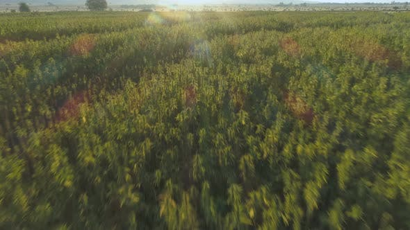 Aerial View of Endless Hemp Plantation Outdoors at Sunset