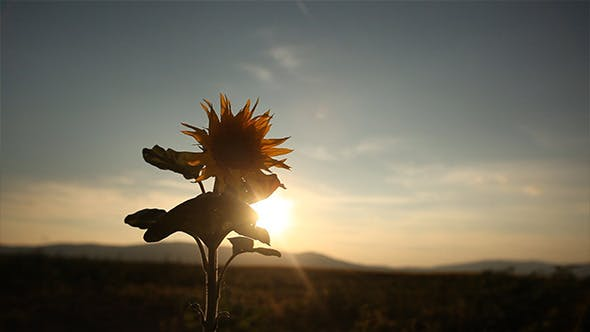 Cover Image for Sunflower in the Sunset 3