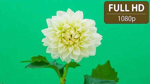 Dahlia Flower Blossoming
