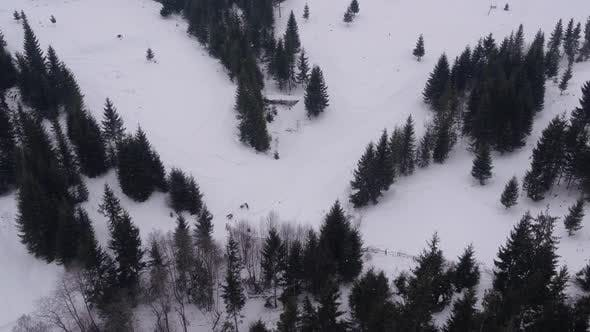 Thumbnail for Aerial view of a dog sled riding by fir trees