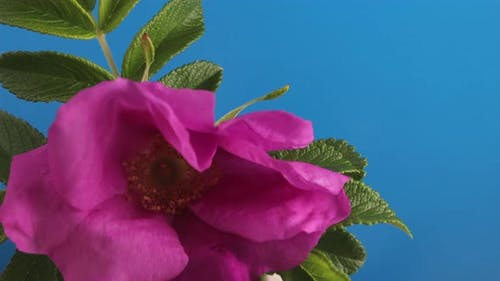 Wilted Rosehip Flower Coming to Life on a Blue Background
