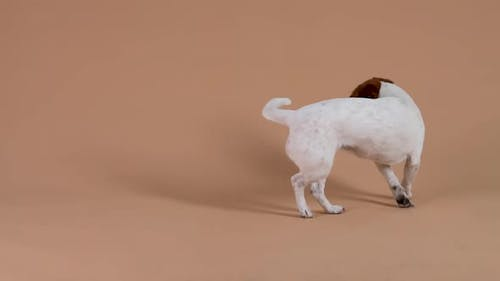 Funny Jack Russell Runs in a Circle After His Tail and Grabs It with His Teeth