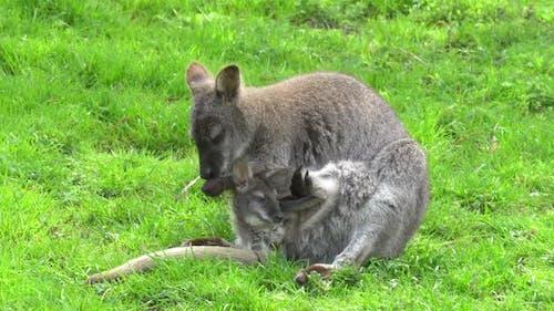 Mom kangaroo with a kangaroo in a bag